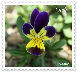 Viola_2